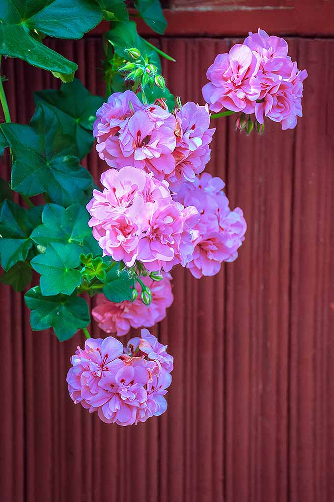 An ivy zonal geranium hangs down over a red paneled fence. The plant has broad, star shaped leaves and bright pink flowers composed of many small petals.