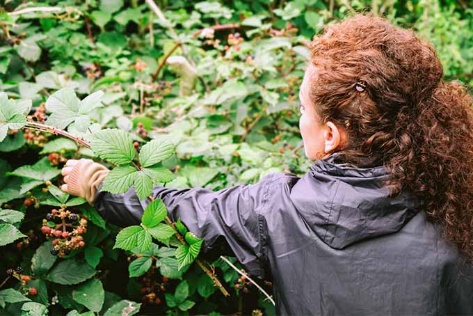 A woman with curly red hair and wearing a gray rain jacket reaches for red berries on a bush with green leaves.