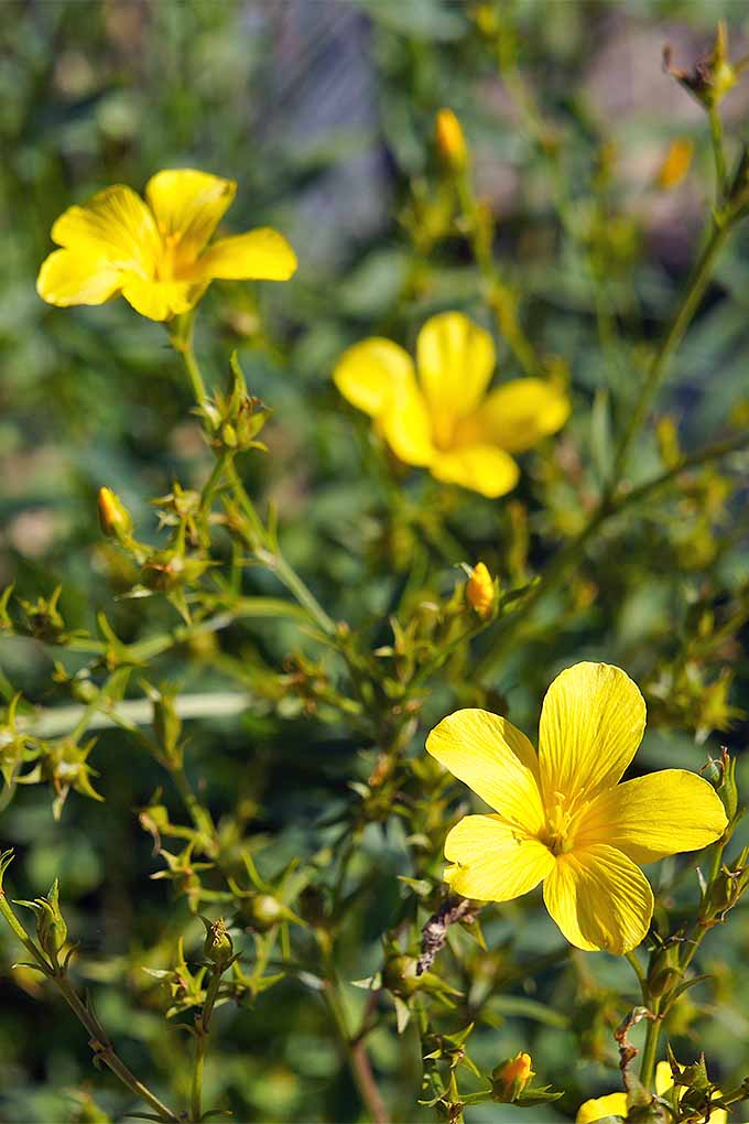 Closeup of yellow, five-petaled blossoms of L. flavor with green buds and stems, with green foliage in shallow focus in the background.
