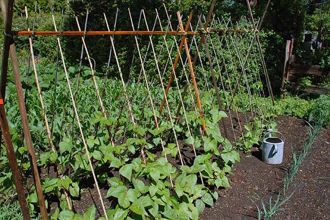 Two rows of green beans are growing in the middle of the dark brown, weedless soil of a garden. These are the pole variety and have teepee-like structures fixed above to support the plants as they produce the delicious vegetables. Next to the plants are a watering can and a row of onions.