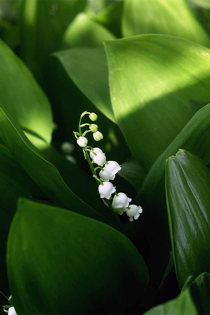 How to grow lily of the valley a fragrant shade lover gardeners path a single stalk of lily of the valley breaches through the broad leaves of the swamp mightylinksfo