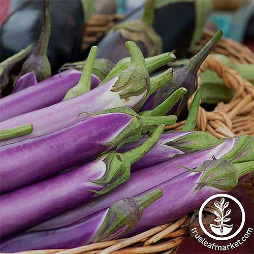 A basketful of long, narrow, pale purple, Japanese-style 'Millionaire' eggplant.