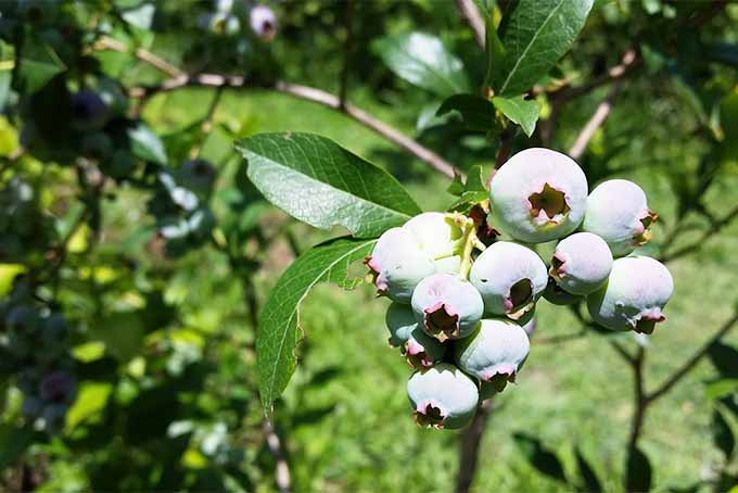 A cluster of ten or more nearly ripe blueberries, with whiny green leaves, anymore green foliage in the sunshine in the background.