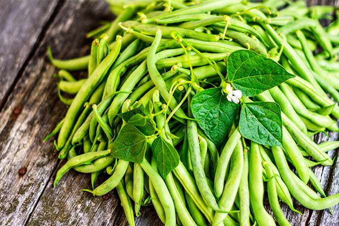A large number of freshly picked green beans have been placed into a pile on an old, rustic looking table. The vegetables are topped with a few of the leaves and flowers of the plant they were picked from.
