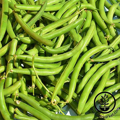A pile of freshly picked 'Provider' green beans. Some still have the stems from the plants attached.