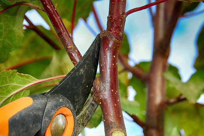 A small branch of an apple tree is being cut by orange and black pruning shears.
