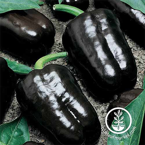 Several deep purple harvested 'Purple Beauty' bell peppers, arranged on a gray surface.