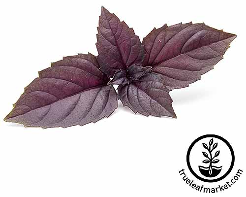 Sprig of purple 'Red Rubin' O. basilicum isolated on a white background.