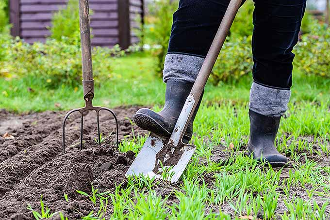 A gardener wearing rubber boots and black velvet pants is stepping onto a shiny metal spade to dig into the ground next to the garden. She also has a pitchfork stuck into the freshly tilled soil to the right. In the background are bushes, grass and a brown shed to hold all the tools.