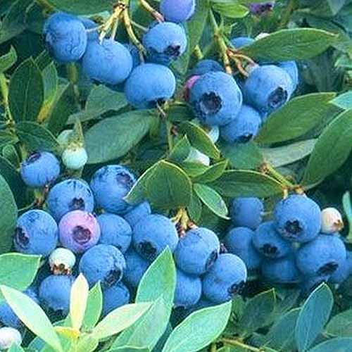 A large number of sunshine blue blueberries are ready to be picked from the plant. These light blue fruits are high in number and are packed together tightly on the small branches that hold them.