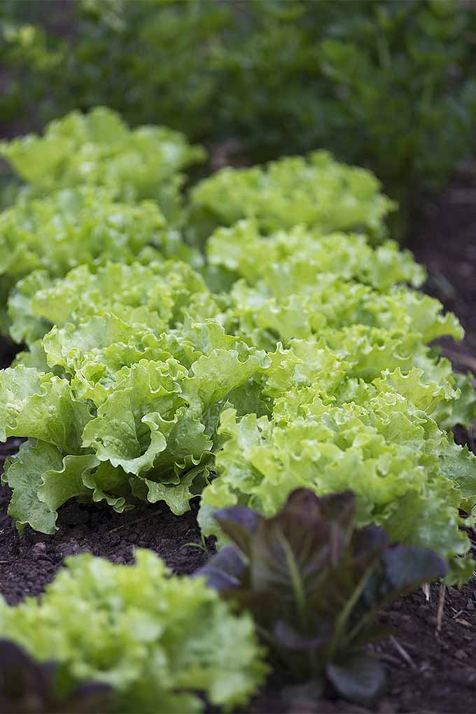 Vertical image of green ruffled leaf lettuces growing in two rows, with a clump of purplish brown lettuce in the foreground, and another variety in shallow focusi in the background, growing in brown soil.