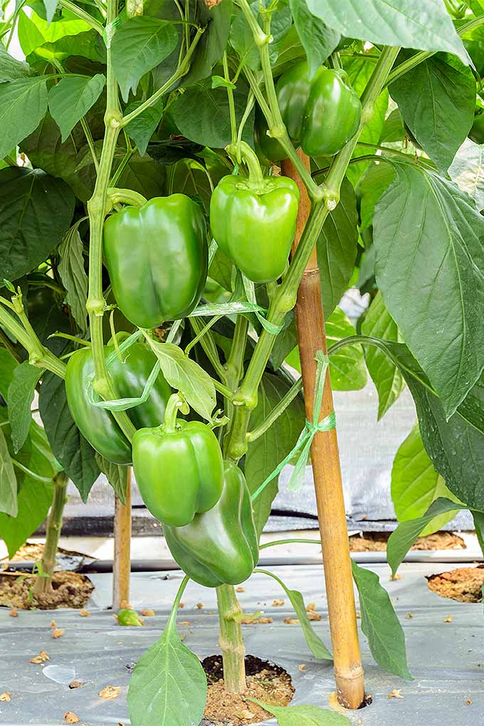 Several green bell peppers growing on a plant staked with a bamboo pole and plastic ties, with broad green leaves, in the sunshine.