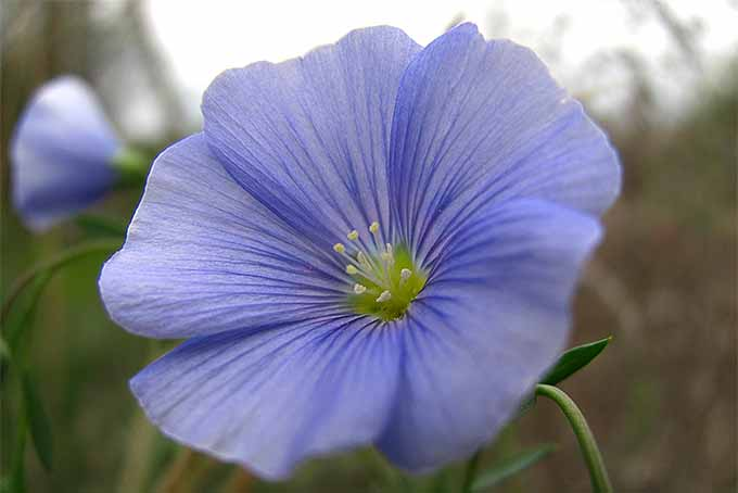 Extreme closeup of a blue flax flower, with a yellow center, on a white and green background.