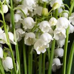 A bouquet of lilies of the valley are shown with their white flowers all facing down towards the ground. A single stem of C. majalis can hold several of the small, almost bell-shaped blossoms.