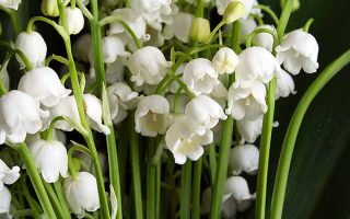 Lily of the Valley, Right Up My Alley