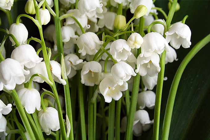 How to grow lily of the valley a fragrant shade lover gardeners path a bouquet of lilies of the valley are shown with their white flowers all facing down mightylinksfo