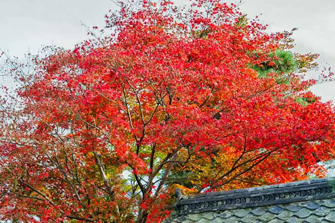 A large, red leafed Japanese maple growing next to a traditional Korean tiled roof.
