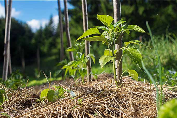 A small, recently sprouted plant is growing up through a bed of straw. The green individual has a large brown pole next to it for support when growing. In the back, other plants like this can be seen growing as well as trees, grasses and the blue sky.