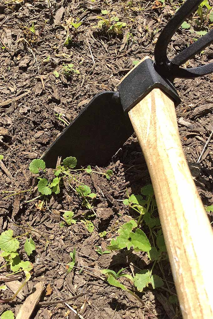 A double-sided garden tool with with a hoe on one side and a hand tiller on the other is sticking slightly into the ground at the base of a small weed preparing to remove it. The tool has a wooden handle and the metal is painted black and looks new. There are many other small plants around in the garden.