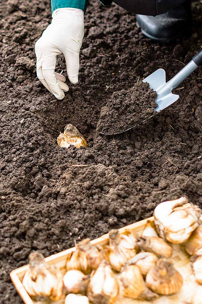 Vertical image of a white gloved hand reaching towards the earth to plant a brown bulb as the other hand uses a metal shovel to place some dirt on top of it, with a wooden basket of brown bulbs in the foreground, resting on the brown earth.