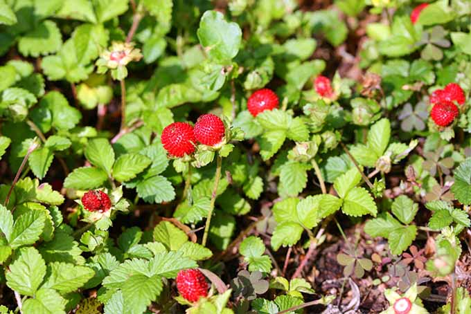 Red wild false strawberries with rounded green leaves, growing upwards towards the sky on brown soil in the sunshine.