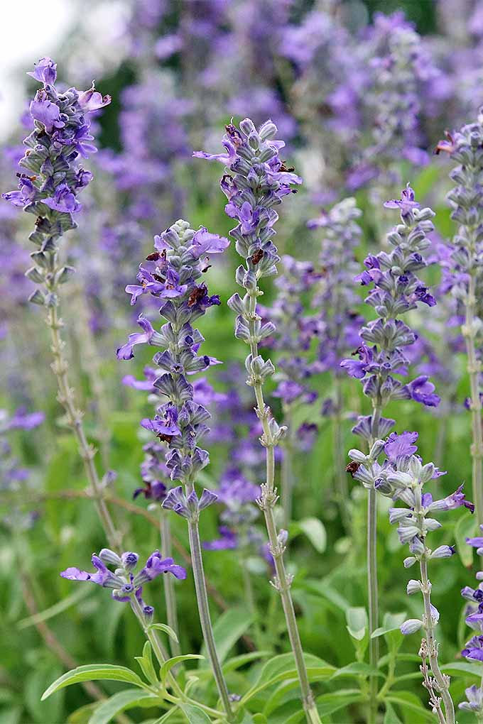 Vertical image of blooming pale purple sage flowers on long vertical stalks with green leaves.