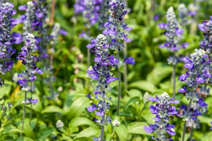 Blue salvia with sparse blossoms growing on vertical stems and yellow-green narrow leaves.