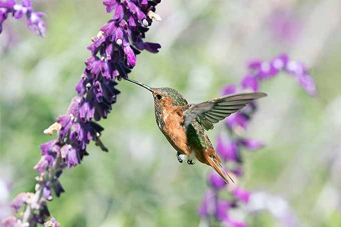 An orange and green hummingbird pollinates a purple salvia flower while hovering in mid-air.