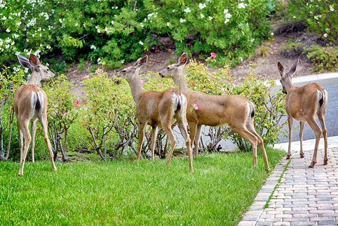 Four white-tailed fawns standing next to several short shrubs with green springtime leaves and pink flowers, growing in a green lawn alongside a brick paver driveway next to a black asphalt road, with white flowering bushes with green leaves growing in brown mulch across the street.
