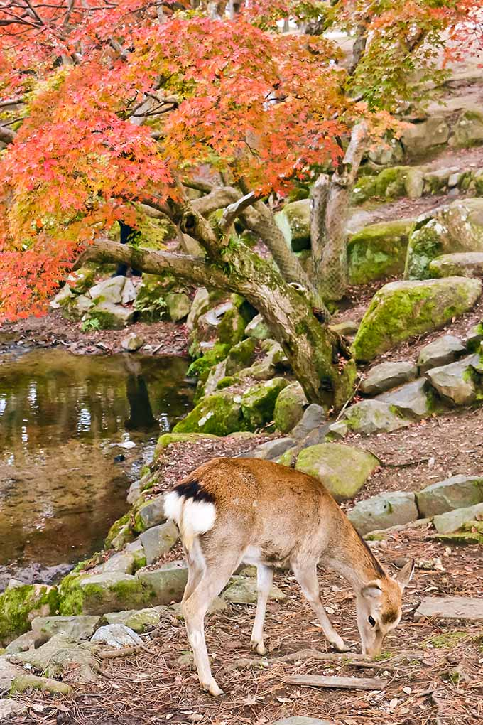 Vertical image of a red Japanese maple in the fall, growing along a stream with rocks, brown mulch, and a white-tailed deer foraging in the earth.