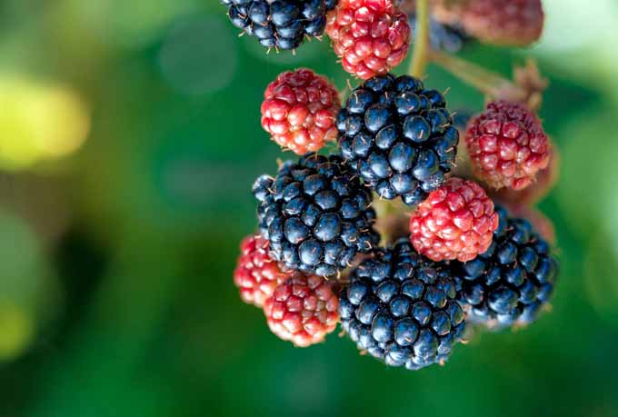 A cluster of blackberries growing from a cane.
