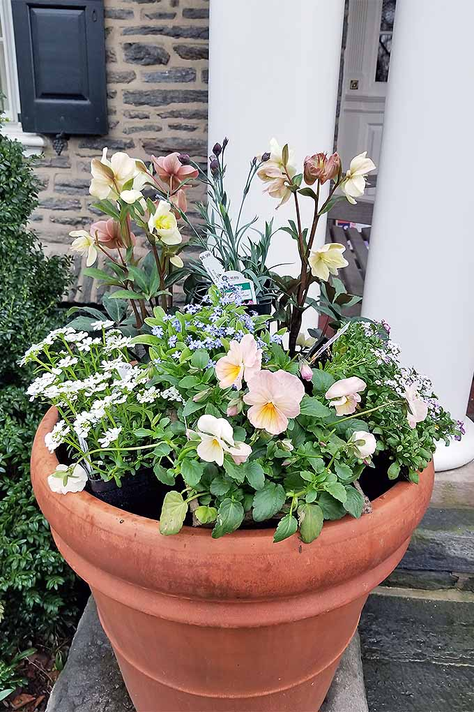 Cream-colored pansies and hellebores, and other types of flowers and foliage, fill an extra-large terra cotta planter in front of a large green shrub and a stone building with white pillars.