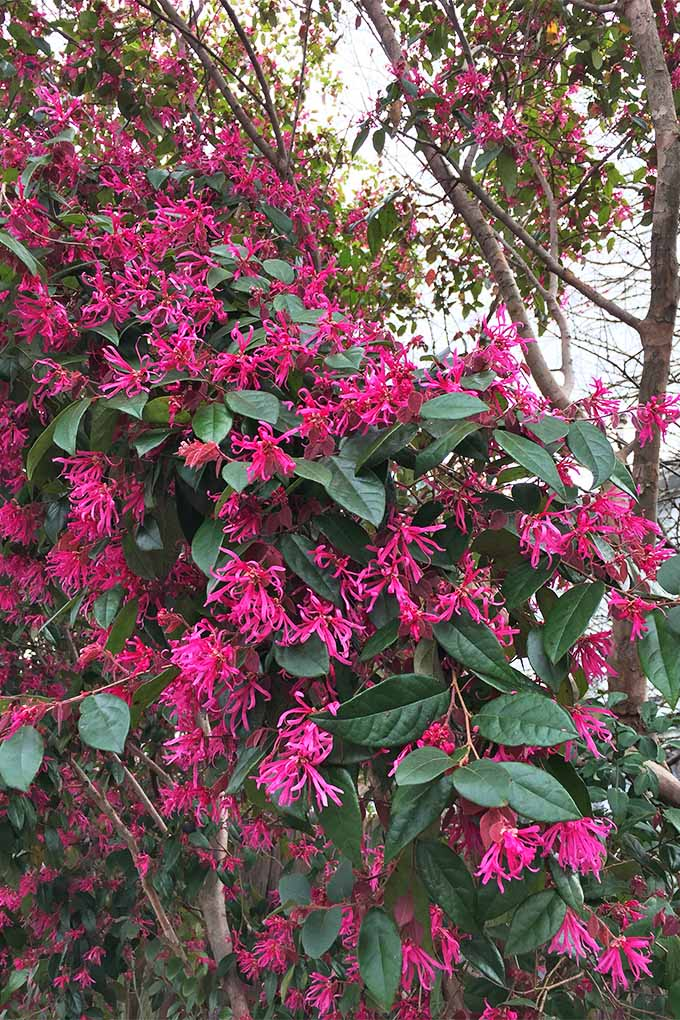 A Chinese witch hazel is growing with its bright, pink flowers making up the majority of the cover seen. The deep green leaves combined with that of the fringe petals put on a beautiful display for any yard.