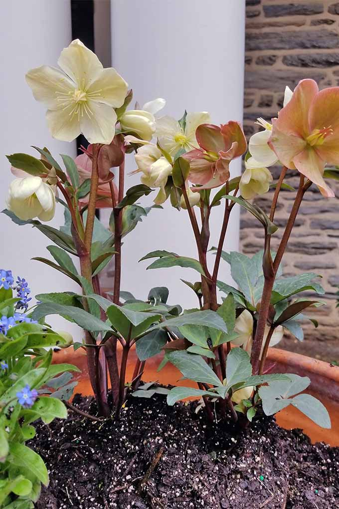 Two newly planted peach hellebores and a forget-me-not with small blue flowers and green foliage in wet black topsoil that fills a large terra-cotta planter in front of a house with white columns and a stone wall.