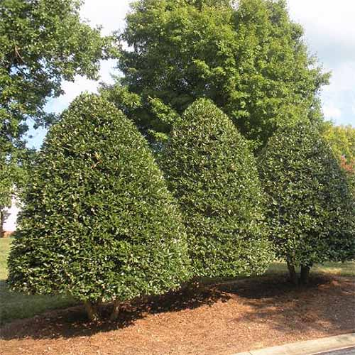 Three American holly bushes trimmed to a conical shape, growing in red mulch with taller trees in the background.