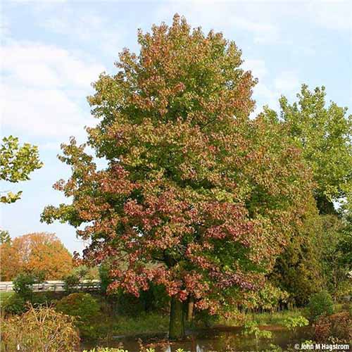 An American sweetgum tree with green foliage just beginning to turn to red in the fall, next to other trees and shrubs with a pale blue sky with white clouds in the background.