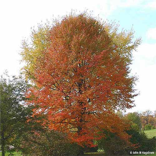 Tall black tupelo tree in the fall, with orange and yellow leaves, growing near other shorter trees and shrubs, with a light blue sky with white clouds in the background.