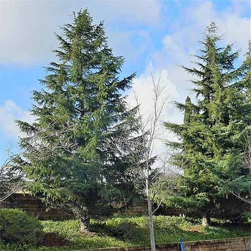 Two deodar cedar trees growing in a lawn, with a bare sapling of a different species in the foreground, and a blue sky with clouds in the background.