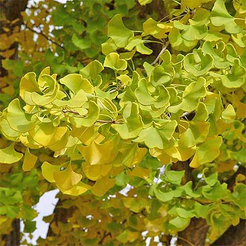 Fan-shaped ginkgo leaves on a branch, turning from green to yellow in the fall.