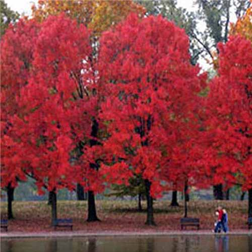 Three large, vibrant red maple trees growing beside a lake, with two people walking along a path in the fall.