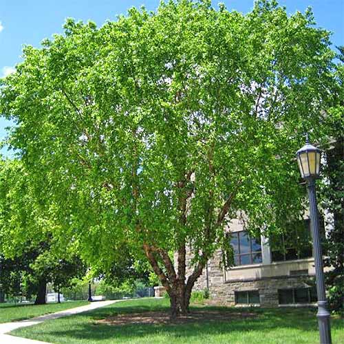 Large river birch tree growing in front of a building with a street lamp in the foreground, growing in green grass on a sunny day with blue sky in the background.