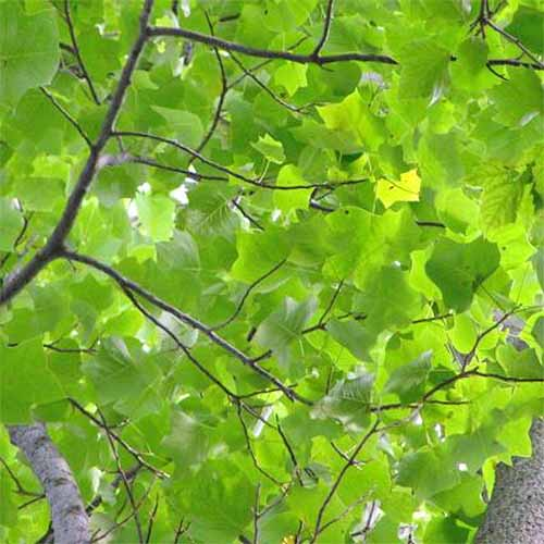 Closeup of yellow green tulip poplar leaves growing on a branch.