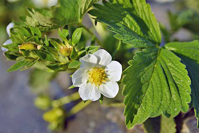 Closeup of a six-petaled white strawberry flower with a yellow center, growing on a plant with green leaves.