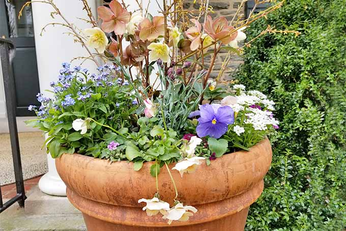 A large round terra cotta flower pot filled with pansies, hellebores, forsythia, and other types of flowers and foliage, in front of a stone house.