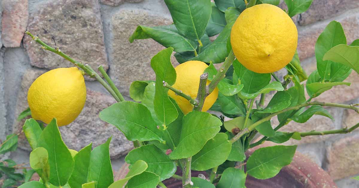 How to Grow Dwarf Citrus Trees | Gardener's Path