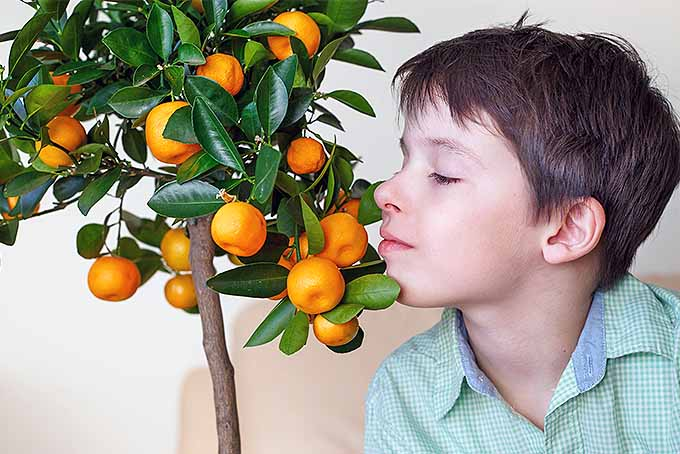 A boy with brown hair and a mint green collared shirt inhales the aroma of a dwarf clementine tree with round orange fruit and shiny green leaves with his eyes closed, on a white and tan background.
