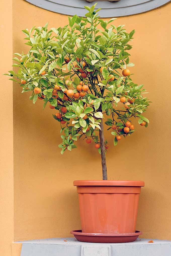 A dwarf citrus tree with orange fruit and green leaves, growing in a large orange plastic pot, in a yellow and white nook in an outdoor wall.