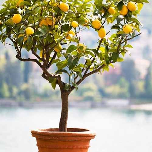Closeup of a Meyer lemon tree growing in an orange pot.
