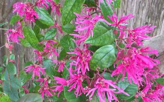 Frilly, Pink, and Easy to Grow: Chinese Fringe Flower