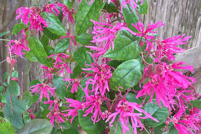 A Chinese fringe flower is growing alongside a rough, wooden fence. The plant has bright pink and narrow petals reaching out in all directions.